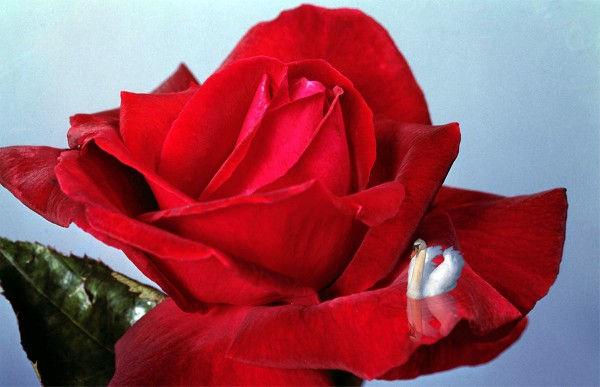 Cygne flottant sur un pétale de rose