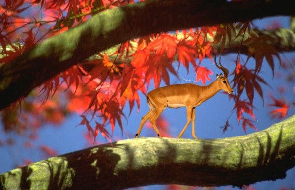 Impala sur une branche