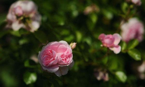 Roses roses à Trilbardou au printemps