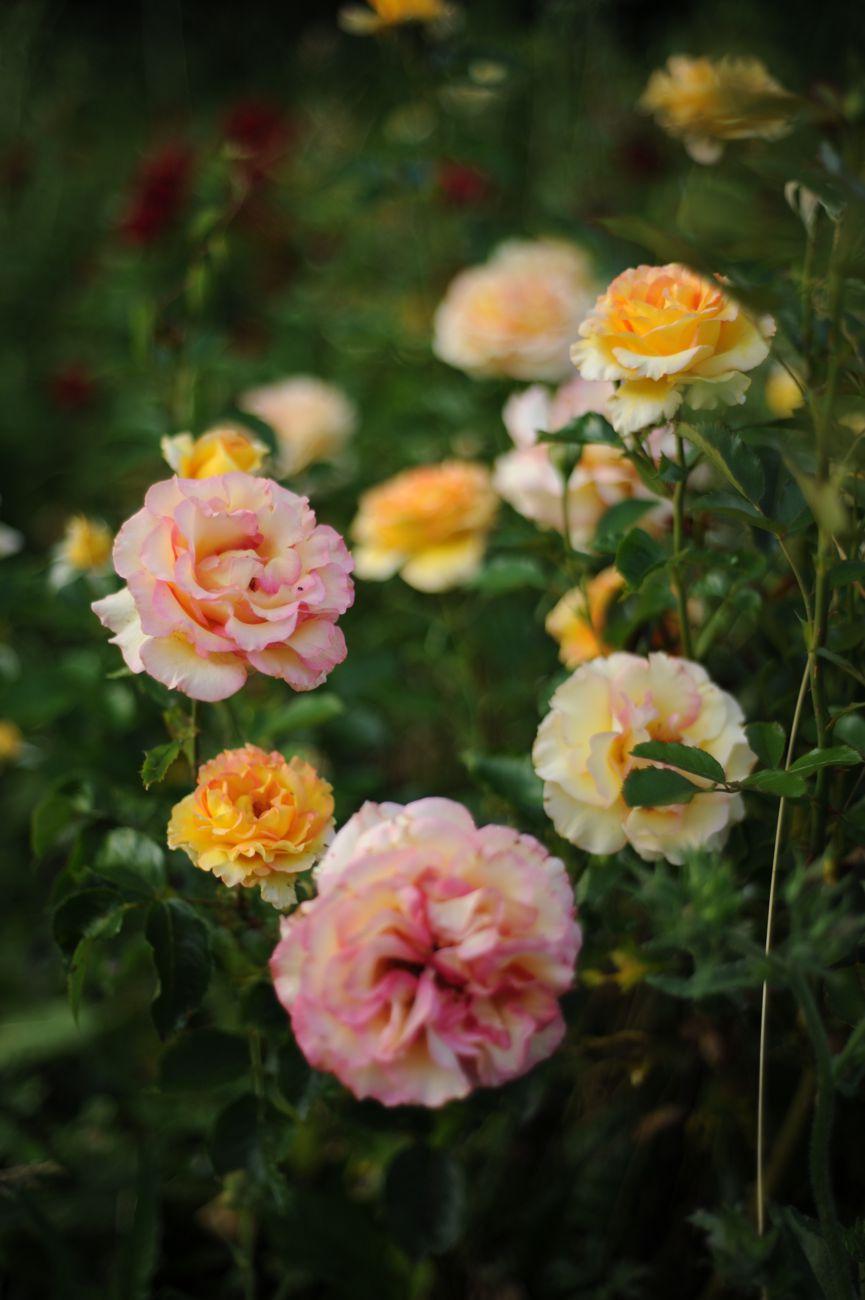 Rose du jardin de mon amie