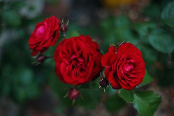 Roses et fleurs variées au printemps