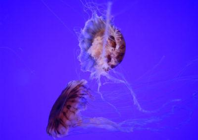 Méduses - Aquarium de la Rochelle